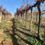 vinohrad-jesen